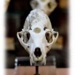 Détail d'un crâne au Musée National d'Histoire Naturelle